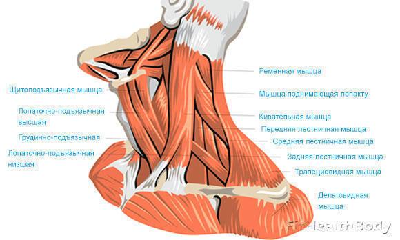 мышцы сгибатели и разгибатели шеи